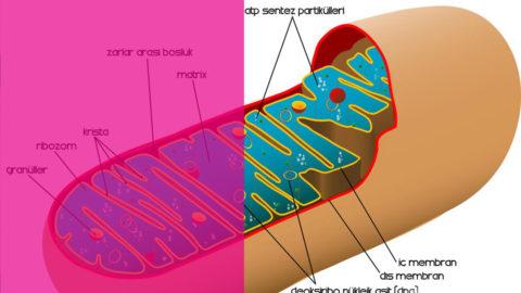 Tüp Bebekte Mitokondri Nakli